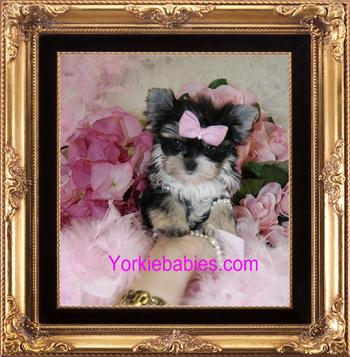 TEACUP PUPPIES FOR SALE, TEACUP PUPPIES MIAMI, TEACUP PUPPIES