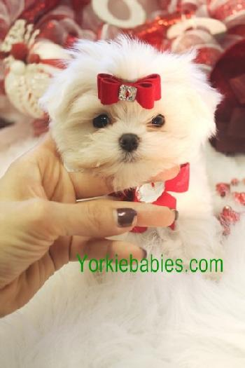TEACUP MALTESE, MALTESE PUPPIES, MALTESE FOR SALE YORKIEBABIES.COM