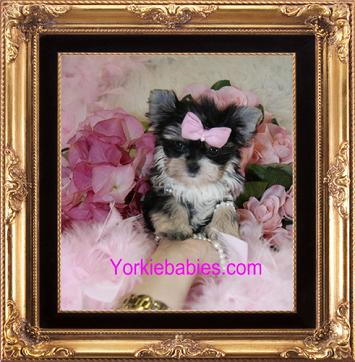 ELEGANT MORKIES AT YORKIEBABIES.COM