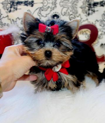 YORKIE,YORKIES,YORKIES FOR SALE, TEACUP YORKIES, YORKIE TEACUP, TEACUP YORKIES FOR SALE, YORKIE TEACUPS FOR SALE
