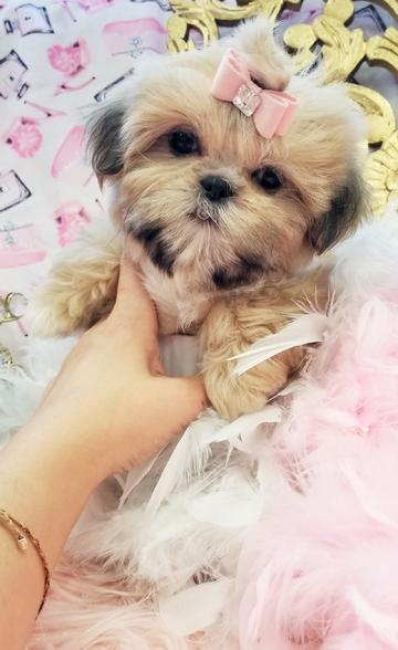 Shih Tzu Puppies Teacup For
