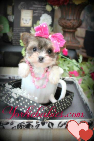 white yorkie puppy for sale teacup yorkie teacup yorkies yorkies for sale micro 4764