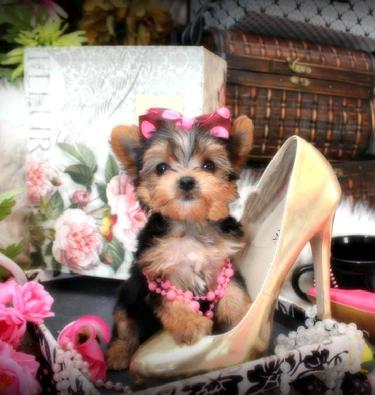 YORKIEBABIES.COM FOR ELEGANT TEACUP YORKIES FOR SALE