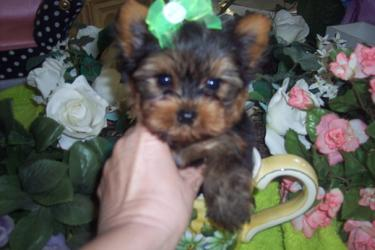 YORKIEBABIES.COM TRUE TEACUP YORKIES