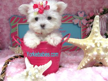 ELEGANT MALTESE PUPPIES, TEACUP MALTESE BREED INFORMATION, TEACUP MALTESE PUPPIES, TEACUP MALTESE, YORKIEBABIES.COM