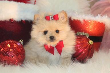 FINANCING FOR POMERANIAN PUPPIES