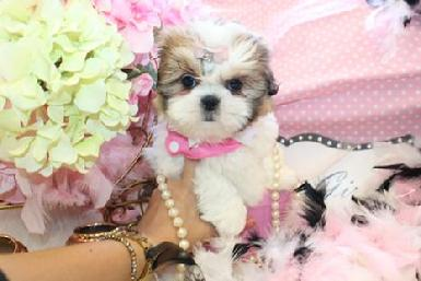 WE FINANCE SHIH TZU PUPPIES