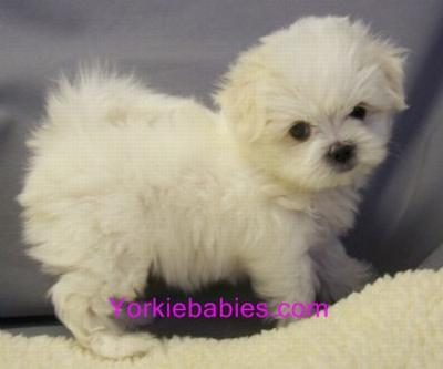 ELEGANT DESIGNER TEACUP AND TOY PUPPIES YORKIEBABIES.COM