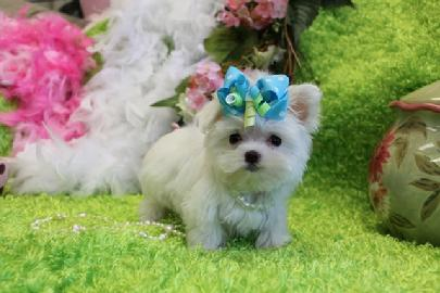 MALTESE, MALTESE PUPPIES FOR SALE, TEACUP MALTESE, TEACUP PUPPIES, YORKIEBABIES TEACUP MALTESE, MALTESE TEACUP, T-CUP, MALTESE PUPPIES, TEACUP PUPPIES