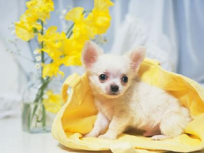 TEACUP PUPPIES, TEACUP CHIHUAHUAS