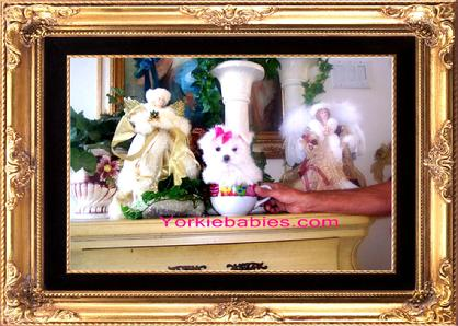 Teacup Maltese for Sale, Teacup Maltese Breeder, Teacup Maltese