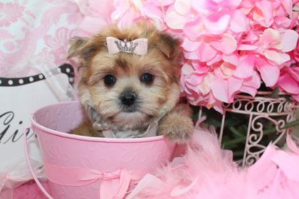 MORKIE,MORKIES,PUPPY,DOGS,DOG