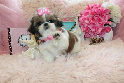 ELEGANT SHIH TZU PUPPIES FOR SALE