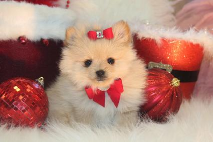 COME SEE OUR ELEGANT POMERANIANS FOR SALE
