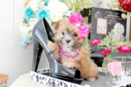YORKIEBABIES.COM TEACUP MORKIES, RARE GOLD MORKIES, MORKIE PUPPIES