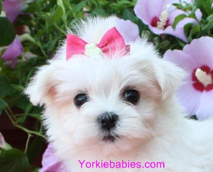 teacup maltese, teacup maltese for sale, teacup maltese for sale south Florida, teacup maltese puppies, maltese puppies south Florida, toy maltese,  Maltese puppy, Micro Maltese, Pocket maltese