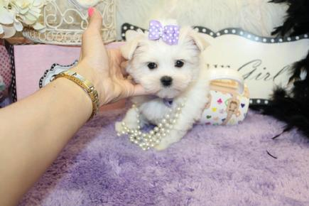 YORKIEBABIES.COM  CHAMPION LINE MALTESE PUPPIES