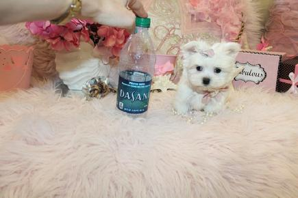 TINY TEACUP MALTESE PUPPIES AT YORKIEBABIES.COM
