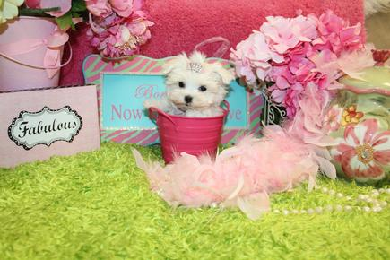 ELEGANT TEACUP MALTESE AT YORKIEBABIES.COM