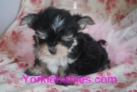 MORKIE FOR SALE, TEACUP PUPPIES, TEACUP MORKIES,  YORKIEBABIES.COM