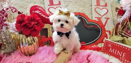 MALtESE,MALTESEPUPPIES, PUPPIES, PUPPY, PUPPYS, MALTESE PUPPY