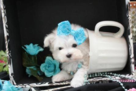 ELEGANT TEACUP MALTESE PUPPIES FOR SALE IN FLORIDA