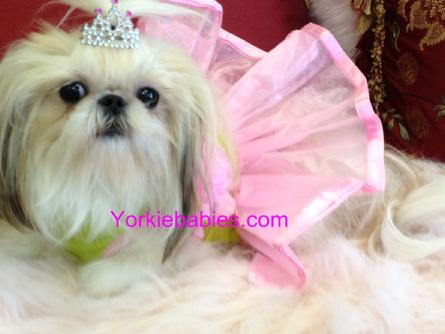 SHIH TZU PUPPIES, TEACUP SHIH TZUS, TEACUP PUPPIES