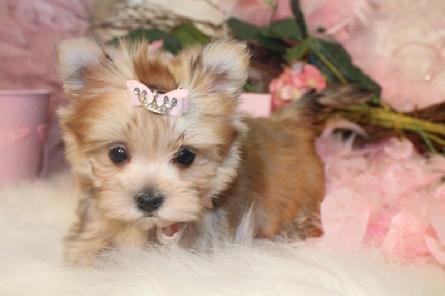 MORKIE, MORKIES, MORKIES FOR SALE AT YORKIEBABIES.COM