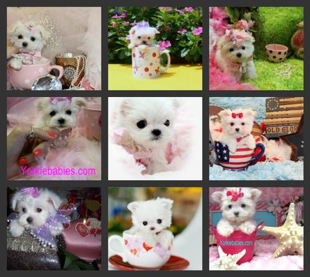 TEACUP PUPPIES, TEACUP  MALTESE AT YORKIEBABIES.COM