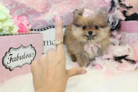 Elegant Teacup Pomeranians, Pomeranian Puppies for Sale, Classy