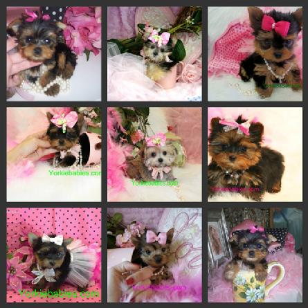 TEACUP PUPPIES IN MIAMI, TEACUP YORKIE AT YORKIEBABIES.COM
