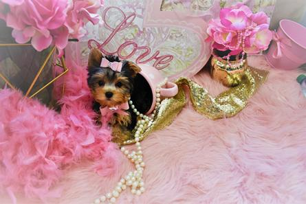 yorkies,yorkie,yorkiepuppies,puppies,yorkshire terrier