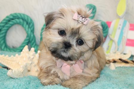 YORKIEBABIES.COM SHIH TZU PUPPIES FOR SALE