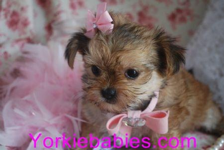 TEACUP MORKIES FOR SALE YORKIEBABIES.COM