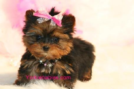 Yorkie Puppies on Elegant Teacup Yorkie   Maltese Puppies  954 324 0149 Yorkiebabies Com