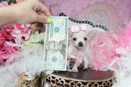 Elegant Teacup Chihuahua  Teacup Chihuahua Puppies for Sale, Teacup