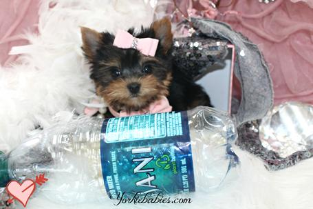 YORKIEBABIES.COM ELEGANT TEACUP YORKIE, TEACUP YORKIE PUPPIES, TEACUPYORKIES FOR SALE