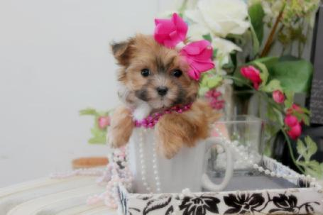 YORKIEBEIBIES.COM MORKIE PUPPIES, TEACUP MORKIES, MORKIES FOR SALE