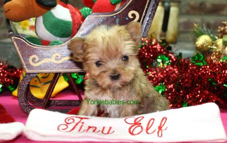 Teacup Puppies for Sale, Teacup Puppy, Teacup Puppies