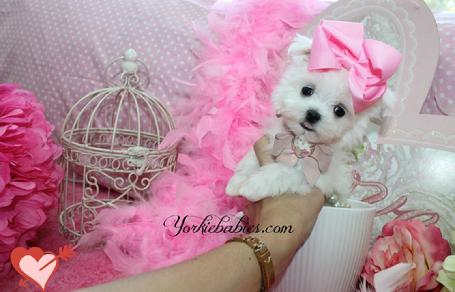 TEACUP MALTESE AT YORKIEBABIES.COM