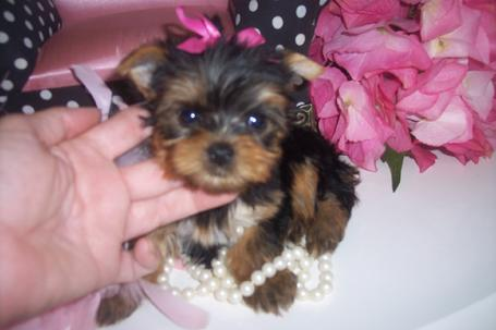 TINY TEACUP YORKIES YORKIEBABIES.COM