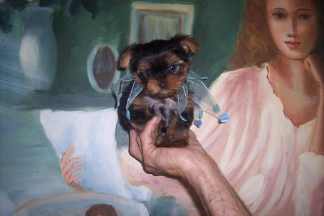How To Care For Teacup Yorkie Puppies Teacup Puppy Care Teacup