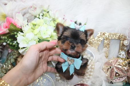 Teacup Yorkies For Sale Tea Cup Breeder Puppies Micro Tiny