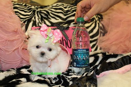 TEACUP PUPPIES, TEACUP PUPPIES FOR SALE , TEACUP MALTESE
