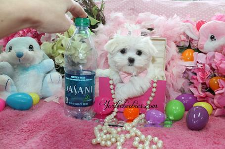 YORKIEBABIES.COM TEACUP MALTESE, MALTESE PUPPIES, TEACUP MALTESE FOR SALE