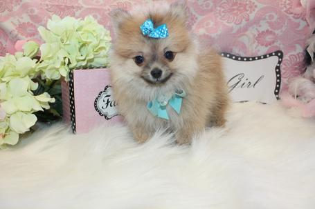 POMERANIAN PUPPIES FOR SALE IN FLORIDA AT YORKIEBABIES.COM