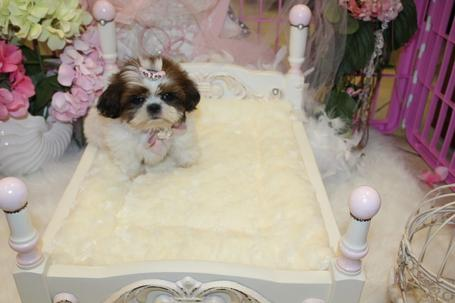 SHIH TZU,SHIH TZU FOR SALE, YORKIEBABIES. DOG, PUPPIES,PUPPY,DOGS