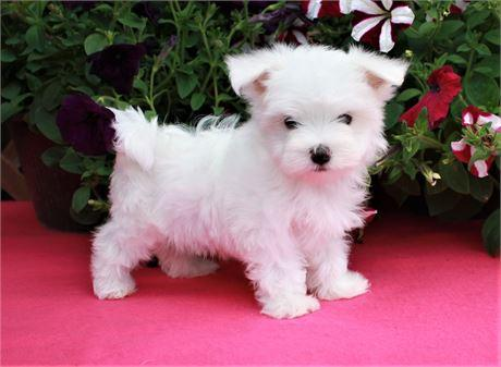 Teacup Maltese Teacup Maltese For Sale Maltese Puppies Tiny