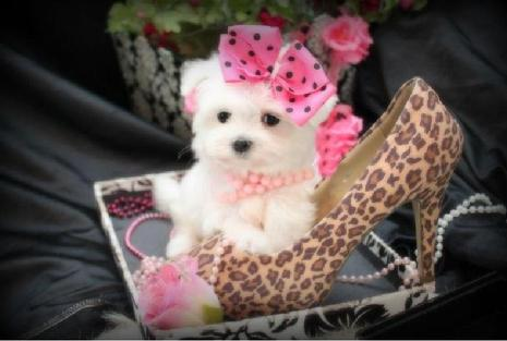 TEACUP MALTESE PUPPIES FOR