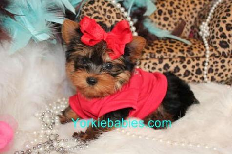 Yorkie Breed Information Teacup Yorkie Care About Yorkie Breed
